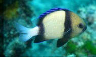 Cloudy Damselfish (Dascyllus carneus)