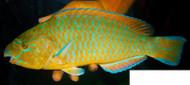 "Blue Chin Parrotfish (14"")"