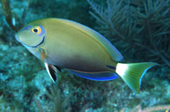 "Ocean surgeon | Acanthurus bahianus, (6"", Mexico)"
