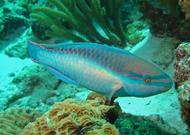 """Princess Parrotfish (Scarus taeniopterus) (5-6"""")"""