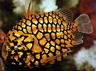 Pinecone Fish | Monocentrus Japonicus