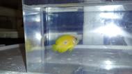 """Blue Spot Lemonpeel Angel-2"""""""