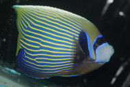"Imperator Angelfish-adult (8"" male w Streamer)"