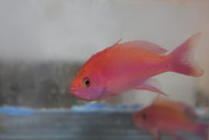 Randall's Anthias-Male