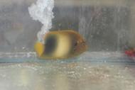 "Africanus Angelfish (2"")"