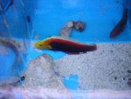 Radiant Wrasse (African)-3-4""