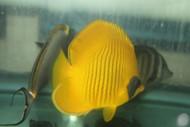 "Golden Butterflyfish | Chaetodon Semilarvatus (4"")"
