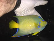 "Queen Angelfish   Holacanthus Ciliaris   8"""