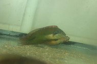 Green Seagrass Wrasse (Novaculichthys macrolepidotus)-XL Male