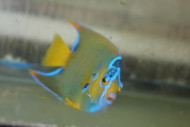 "Queen Angelfish | Holacanthus ciliaris   (6"")"