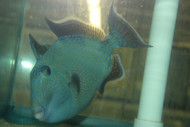 "Blue Line (Fuscus) Triggerfish-Kenya (9-10"")"