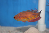 Carpenter Flasher Wrasse-Supermale