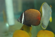 Collare (Pakistani) Butterflyfish  3-4""