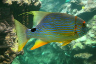Blue and Gold (Hi-Fin) Snapper-3-4""
