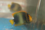 "Africanus Angelfish (4"")"