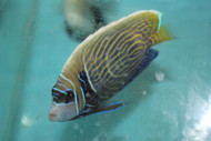 "Imperator Angelfish-Changing (4"")"