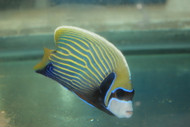 "Imperator Angelfish-adult 5-6"" (Sri Lanka)"