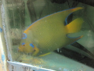 "Queen Angelfish (5"")"
