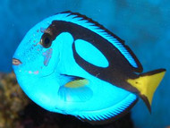 "Blue Hippo Tang (2 1/2""-3 1/2"")"