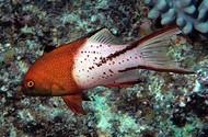 """Lyretail Hogfish-2"""""""