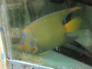 """Queen Angelfish (XL 6""""+)"""