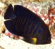 Yellowfin Pygmy Angelfish