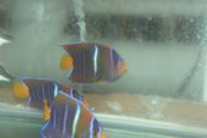 """Passer Angelfish (Holacanthus passer)-3-4"""""""