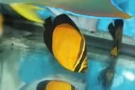 """Red Sea Arabian Butterfly (Chaetodon Melapterus) 3"""""""