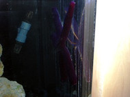 "Purple Velvet Starfish (Hawaii-6-8"")"