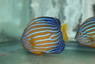 "Blue Line Angel | Chaetodontoplus Septentrionalis (4"")"