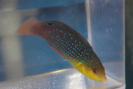 """Yellow Breasted Wrasse (Anampses Twistii)-4"""""""
