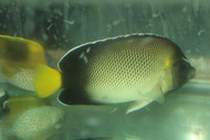 "Xanthurus (cream) Angelfish (4"")"