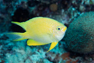 Yellow Damsel