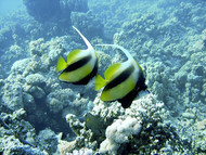 Red Sea Bannerfish   Heniochus Intermidius