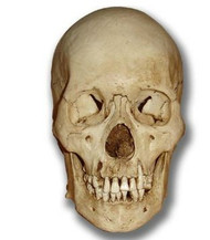 Museum Quality Skull Halloween Prop - Thrashed