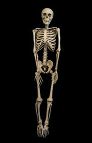 Barney 2 Full Skeleton Halloween Prop