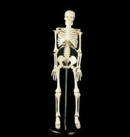 Tiny Tim My First Full Skeleton Halloween Prop