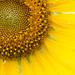 sunflowertiny.jpg