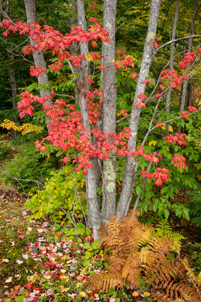 Autumn Maples, Cadillac Mountain