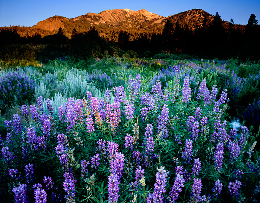 Lupine and Mammoth Mountain