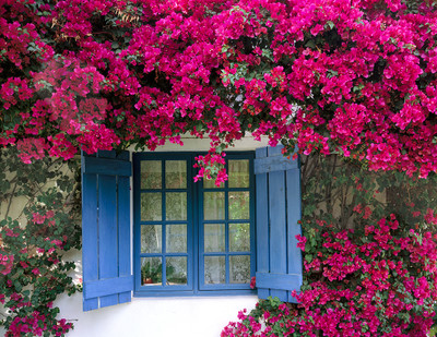 Bougainvillea and Blue Window