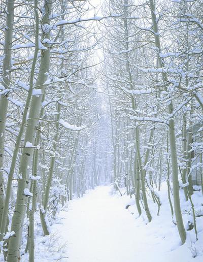 Parcher's Lane Winter Aspen