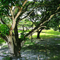 Sand Hill Backyard Soursop Tree
