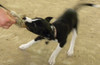 Logic, 10-week old Border Collie puppy, tugging with the Bunny Mouse