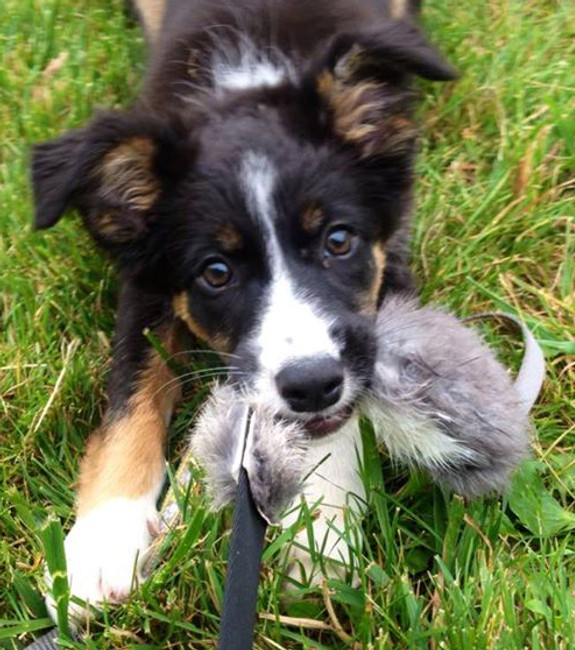 "Border Collie puppy Keys with Bandit Tug. ""Awesome tug,"" Karen C. , Sarnia, ON"