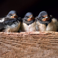 WT91367 - Three Swallow Chicks (TWT, 6 blank cards)