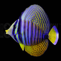 Desjardini Sailfin Tang, Red Sea