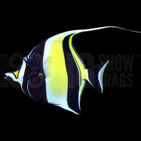 Moorish Idol - Australia