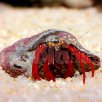 Red Scarlet Hermit Crab
