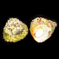 Astrea Turbo Snail